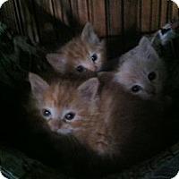 Adopt A Pet :: KITTEN'S - Clay, NY