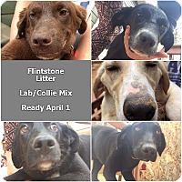 Adopt A Pet :: Wilma - Flintstone Litter - Acworth, GA