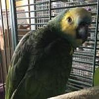Adopt A Pet :: Buddy Blue - Neenah, WI