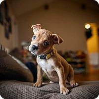Staffordshire Bull Terrier/Labrador Retriever Mix Puppy for adoption in Raleigh, North Carolina - Ioela (Joel)
