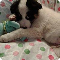 Adopt A Pet :: Twix - Aurora, CO