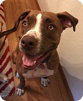 Boxer/Pointer Mix Dog for adoption in Fort Collins, Colorado - Brody