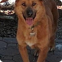 Corgi/Retriever (Unknown Type) Mix Dog for adoption in Palo Alto, California - Douglas