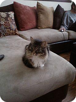 Domestic Longhair Cat for adoption in Laguna Woods, California - Emmy