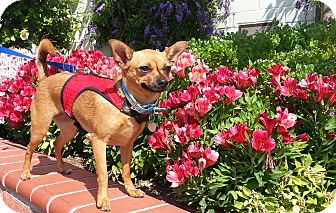 Chihuahua Mix Dog for adoption in San Diego, California - Ruby