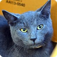 Adopt A Pet :: Louis Blues - Brooklyn, NY