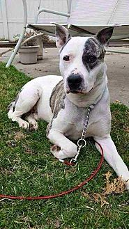 American Staffordshire Terrier/American Bulldog Mix Dog for adoption in Laingsburg, Michigan - Duke