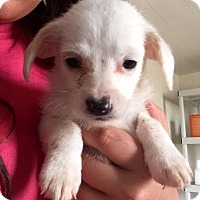 Adopt A Pet :: Maltese Mix Pup 2 - Long Beach, CA