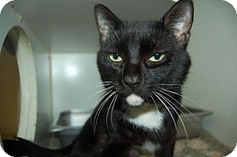 Domestic Shorthair Cat for adoption in Bradenton, Florida - Alfred