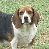 Beagle Dog for adoption in Rochester, New York - Clair