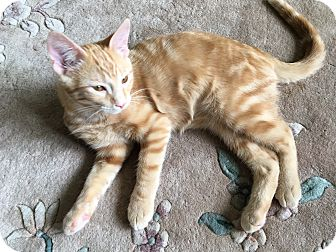 Domestic Shorthair Cat for adoption in Middleton, Wisconsin - Chester