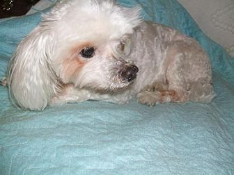 Maltese Dog for adoption in Gainesville, Florida - Prince Charming (FL)