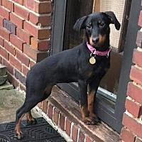 Doberman Pinscher Mix Puppy for adoption in Bristolville, Ohio - Diamond