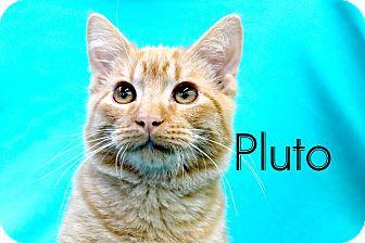 Domestic Shorthair Kitten for adoption in Wichita Falls, Texas - Pluto