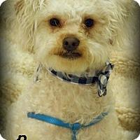 Adopt A Pet :: Bo - Anaheim Hills, CA