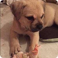 Adopt A Pet :: Blossom - Bernardston, MA