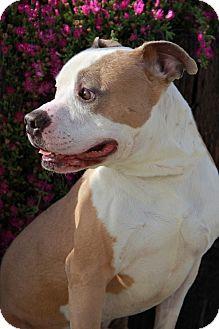American Staffordshire Terrier/American Bulldog Mix Dog for adoption in Everett, Washington - Dexter