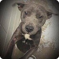 Adopt A Pet :: Cali - Durham, NC