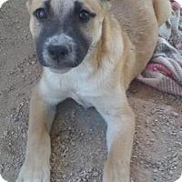Adopt A Pet :: Phillip - Las Vegas, NV