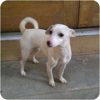 Jack Russell Terrier/Whippet Mix Puppy for adoption in Inglewood, California - Santa's Little Helper