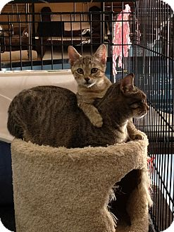 American Shorthair Cat for adoption in Weatherford, Texas - Bridget & Baby