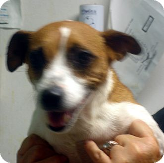 Jack Russell Terrier Dog for adoption in Greencastle, North Carolina - Bridge