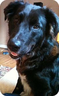 Border Collie Mix Dog for adoption in Richmond, Virginia - Cody