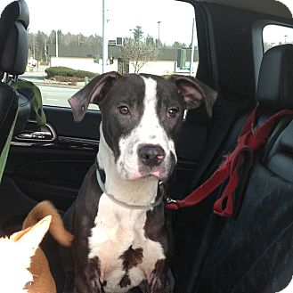 American Staffordshire Terrier/Hound (Unknown Type) Mix Puppy for adoption in Long Beach, New York - Dillon