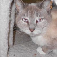 Siamese Cat for adoption in Loganville, Georgia - Sime