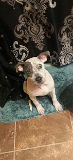 Pit Bull Terrier Mix Dog for adoption in Lake Charles, Louisiana - Katherine