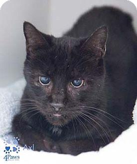 Domestic Shorthair Cat for adoption in Merrifield, Virginia - Axl