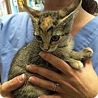 Adopt A Pet :: Amber - Metairie, LA