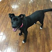 Labrador Retriever/Feist Mix Puppy for adoption in Charlotte, North Carolina - Maise