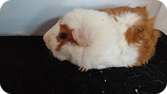 Guinea Pig for adoption in Aurora, Colorado - Brooklyn