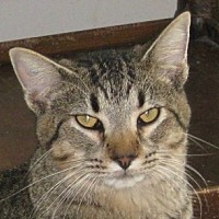 Domestic Shorthair Cat for adoption in Mobile, Alabama - Smokey