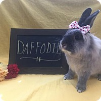 Adopt A Pet :: Daffodil - Columbus, OH