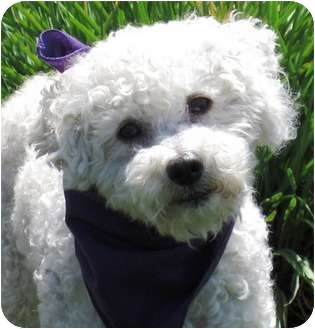 Poodle (Miniature) Mix Dog for adoption in Encinitas, California - Howie