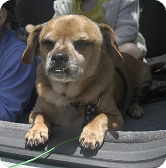 Pug/Beagle Mix Dog for adoption in Poway, California - Valentino