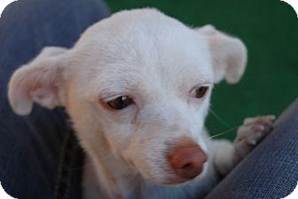 Chihuahua Dog for adoption in San Antonio, Texas - Margie