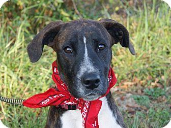 Boxer/Staffordshire Bull Terrier Mix Dog for adoption in Princeton, Kentucky - Ringo