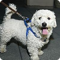 Adopt A Pet :: Sailor - New York, NY