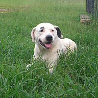 American Bulldog/Dalmatian Mix Dog for adoption in Nashville, Georgia - Brie