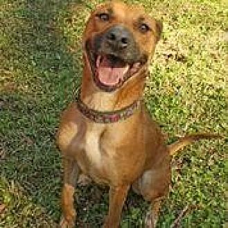 German Shepherd Dog/Boxer Mix Dog for adoption in Hankamer, Texas - Cinnamon