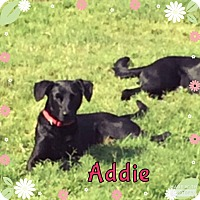 Labrador Retriever Mix Dog for adoption in Rowlett, Texas - Addie