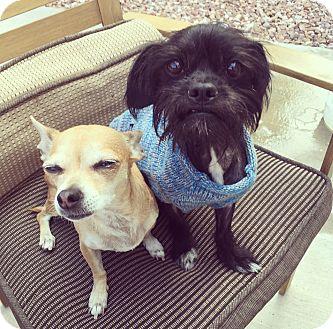 Chihuahua Dog for adoption in Las Vegas, Nevada - Bella