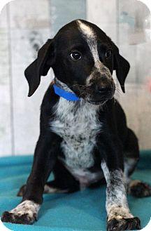 Labrador Retriever Mix Puppy for adoption in Waldorf, Maryland - Colt