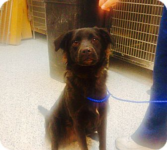 Labrador Retriever/Border Collie Mix Dog for adoption in Indianapolis, Indiana - Duck