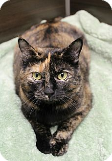 Domestic Shorthair Cat for adoption in Wayne, New Jersey - Jazmin