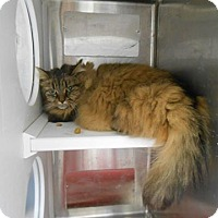 Adopt A Pet :: Chiffon - THORNHILL, ON