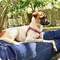 Rat Terrier Mix Puppy for adoption in Portland, Oregon - Emily